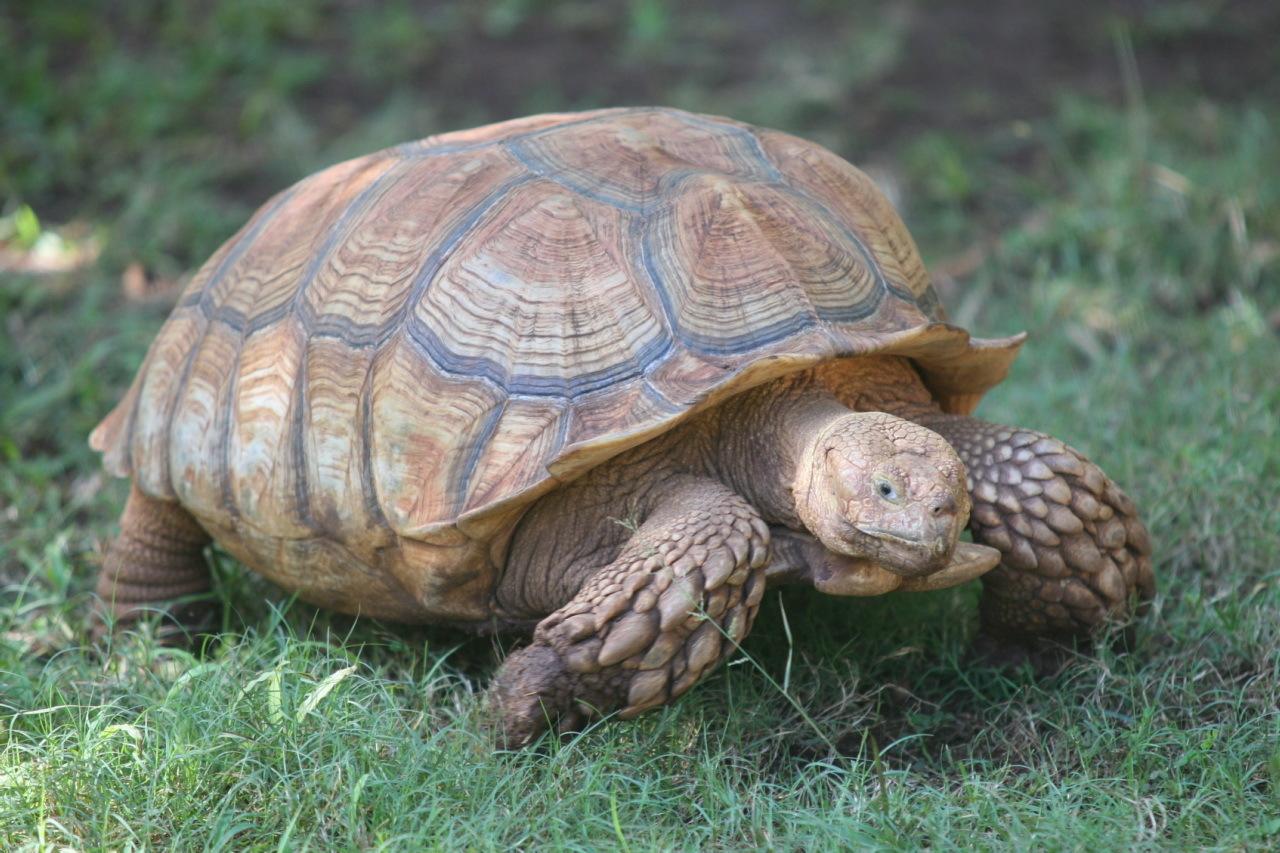 Testudo kleinmanni (египетская черепаха)