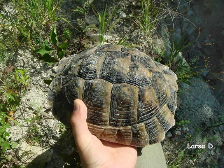 Средиземноморская черепаха описание для детей. средиземноморская сухопутная черепаха (testudo graeca)