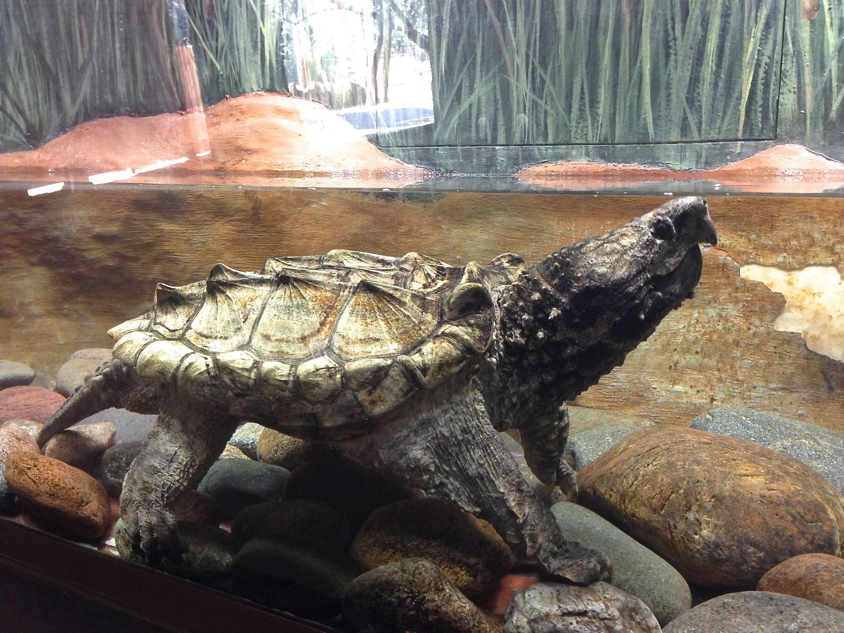Сухопутная черепаха: содержание, особенности кормления черепашки, уход в домашних условиях