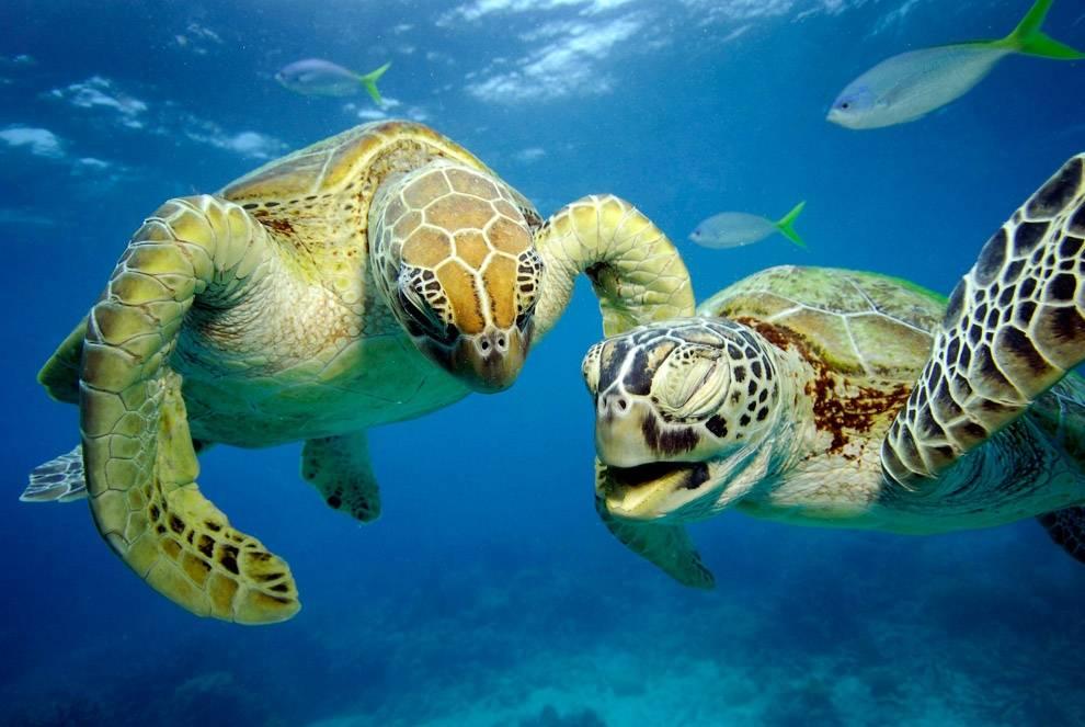 Зеленая черепаха – фото, описание, ареал, питание, враги, размножение