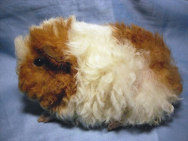 Что нужно знать владельцу о морской свинке породы тексель?