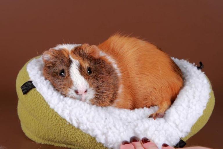 Мандарины: можно ли давать морским свинкам