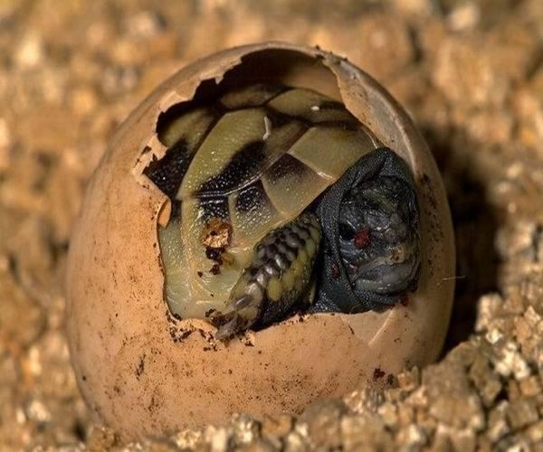Как разбудить черепаху сухопутную