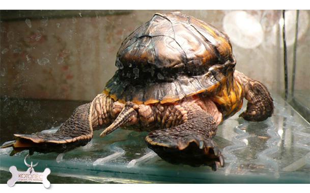 Рахит у черепах