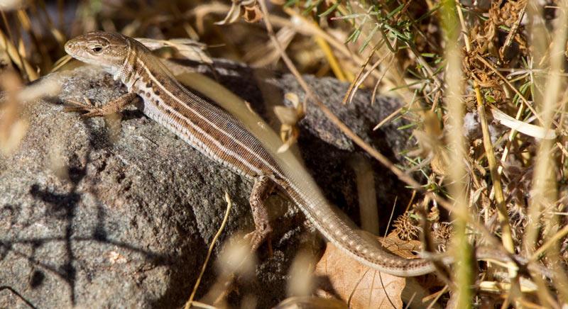 Крымская ящерица