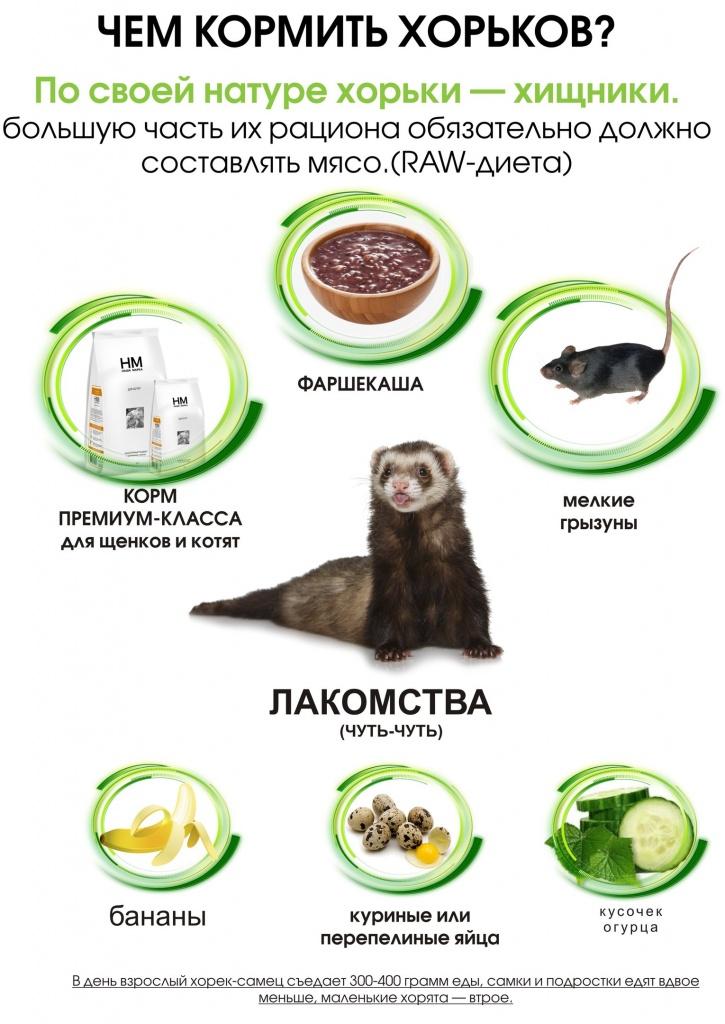 Чем и какими порциями кормить домашнего хорька