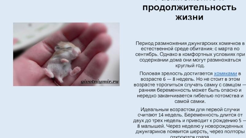 Продолжительность жизни джунгарских хомяков