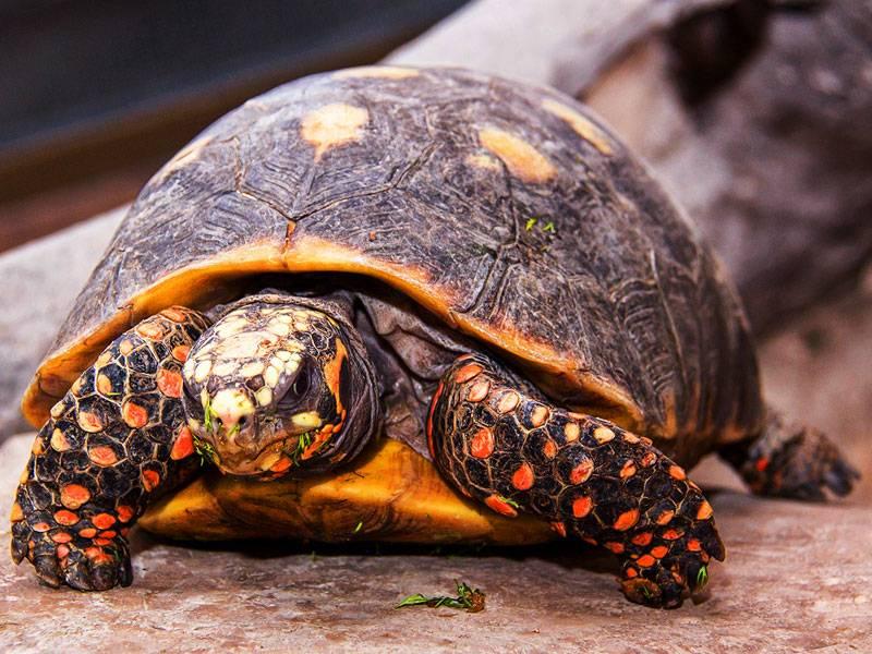Угольная черепаха фото, описание, ареал, питание, враги