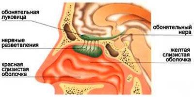 Строение респираторной системы черепах, обоняние и осязание. как дышит море? правильнее дышать ртом