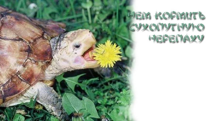Сухопутная черепаха ничего не ест что делать. почему черепаха не ест - основные причины странного поведения