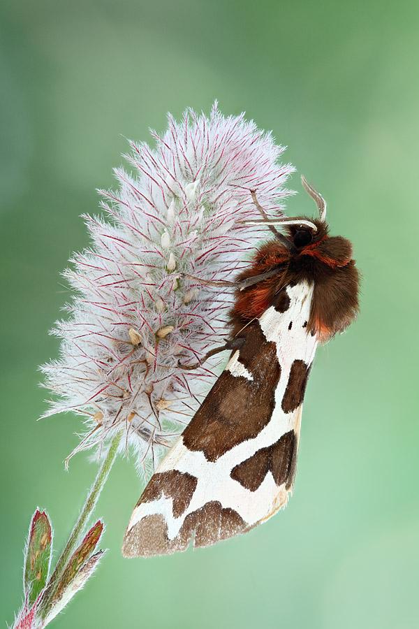 Бабочки Медведицы