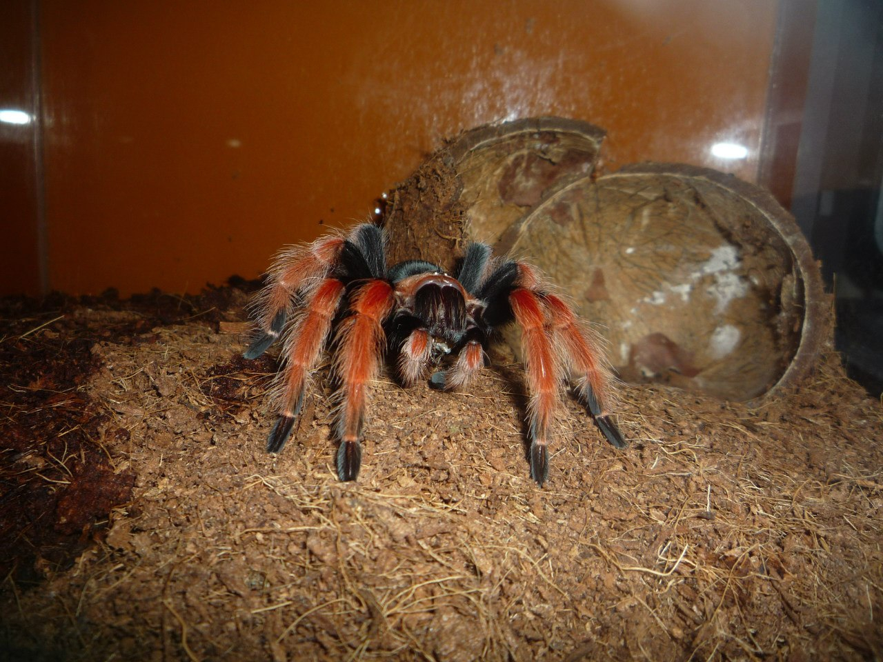 Содержание паука-птицееда