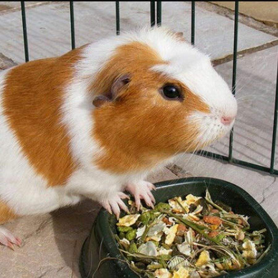 Ананас: можно ли морским свинкам?