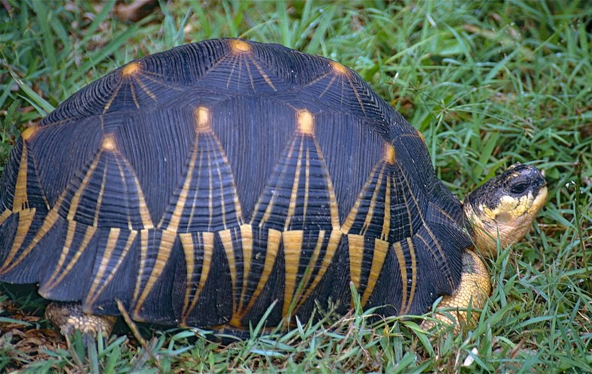 Лучистая черепаха — википедия. что такое лучистая черепаха