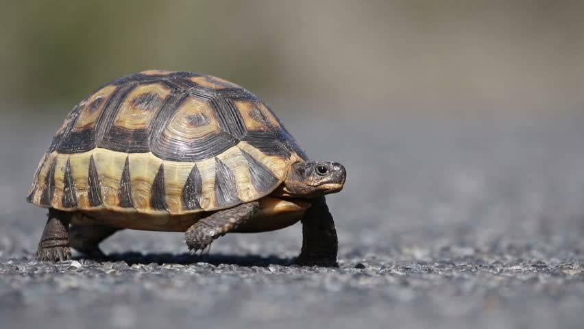 Astrochelys yniphora (мадагаскарская клювогрудая черепаха, ангонока) - черепахи.ру - все о черепахах и для черепах
