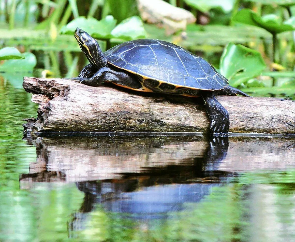 Чем кормить речную черепаху в домашних условиях