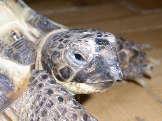 Почему у черепахи опухли глаза. у черепахи опухли глаза - причины, болезни, лечение. болезни глаз красоухих черепах и их симптомы