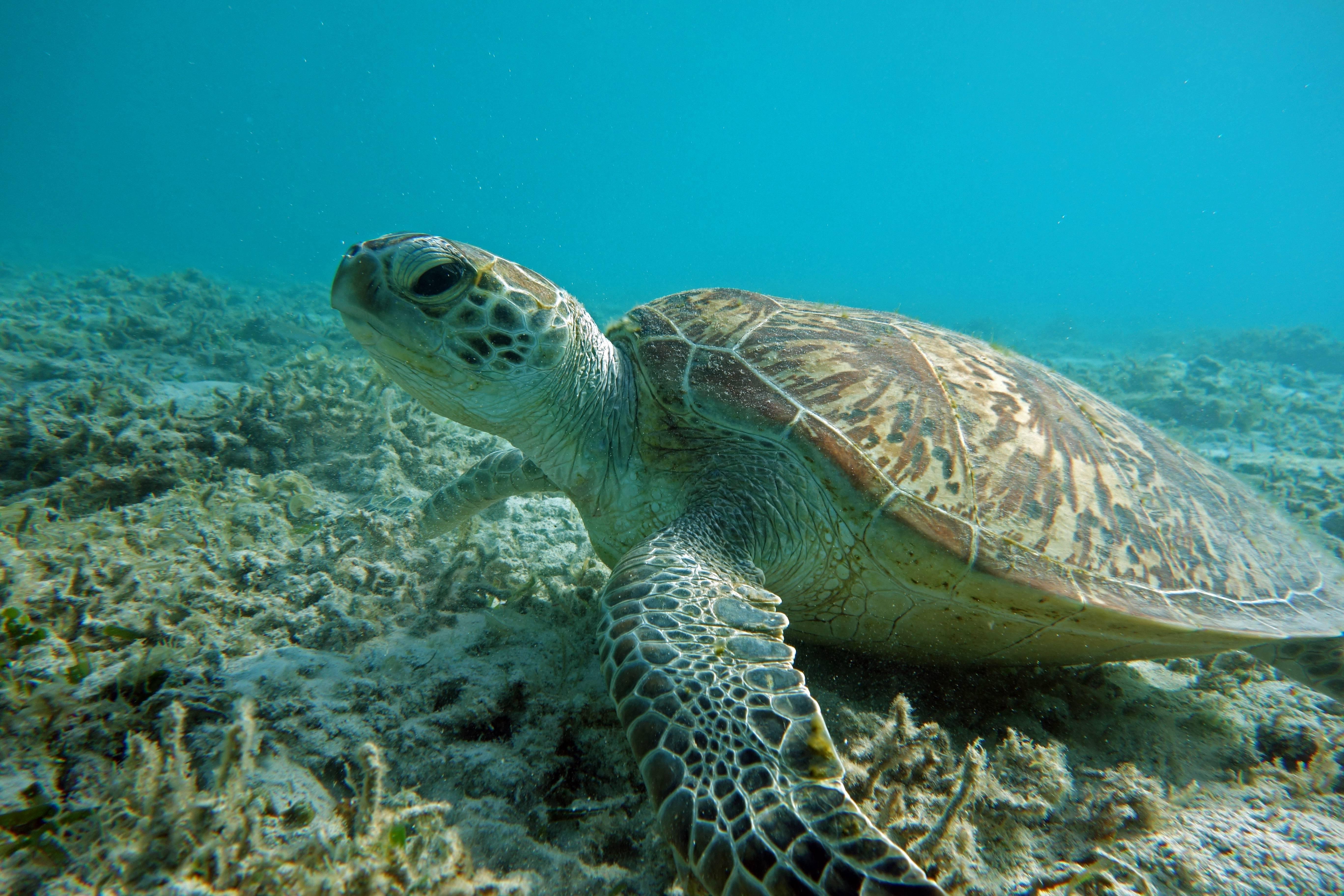 Зелёная черепаха — википедия. что такое зелёная черепаха