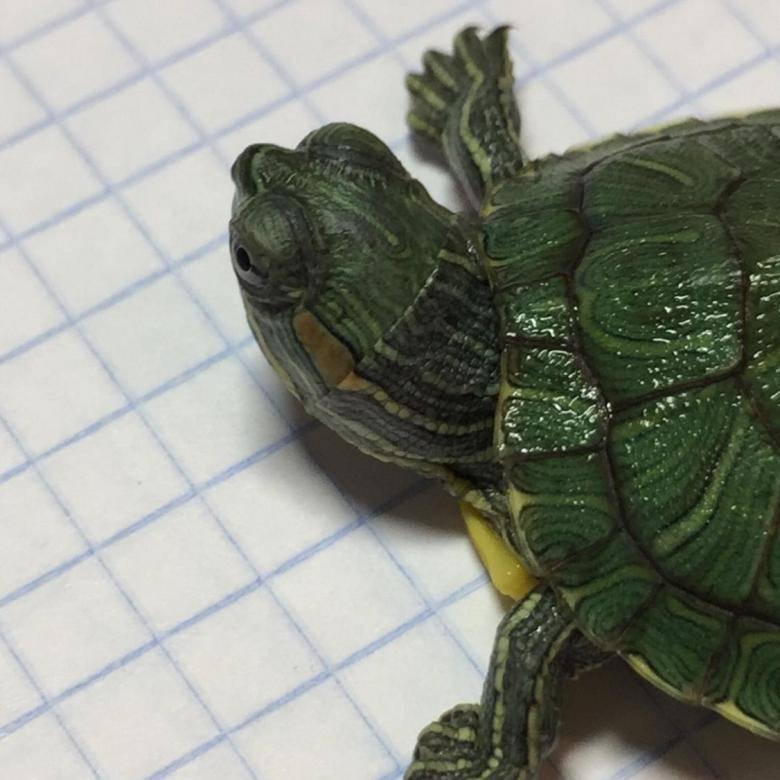Мускусная черепаха