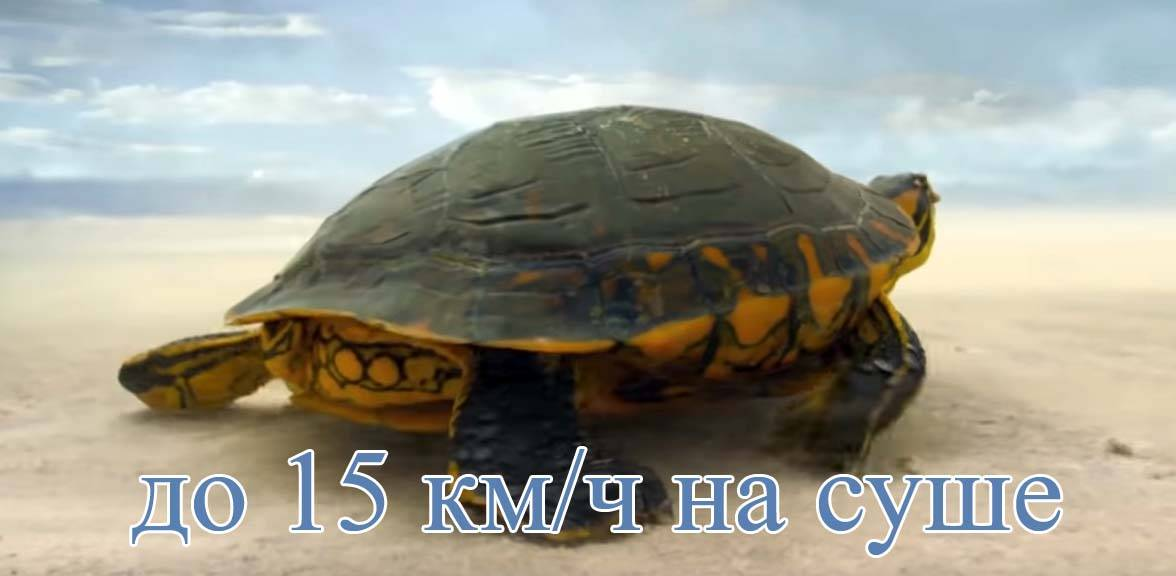 Все ли черепахи умеют плавать?
