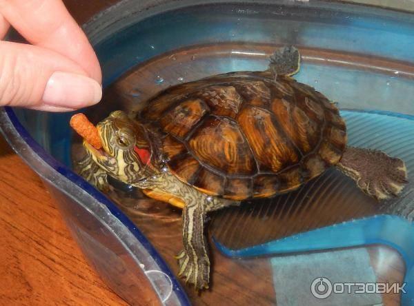 Содержание водных черепах. как ухаживать за красноухой черепахой и триониксом. аквариум