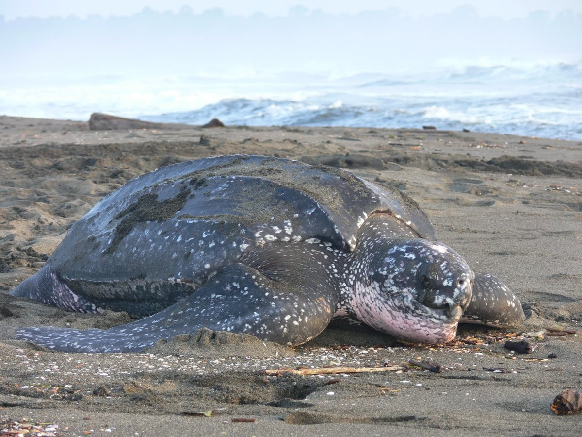 Leatherback морская черепаха - leatherback sea turtle