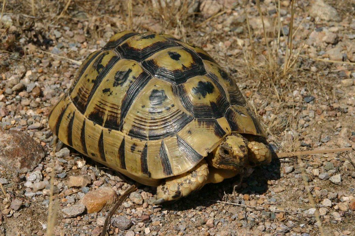 Средиземноморская черепаха — википедия