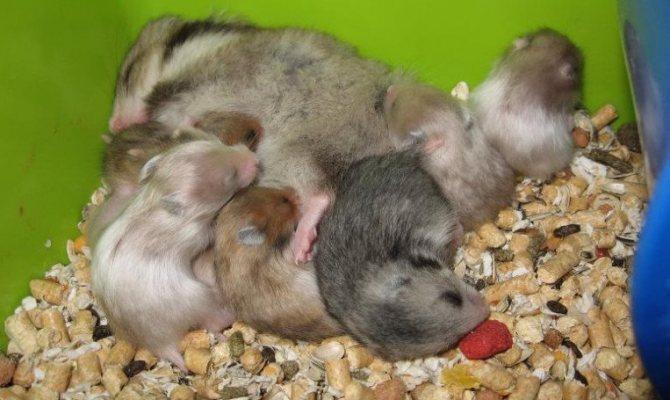 Хомяки едят своих детенышей: почему?