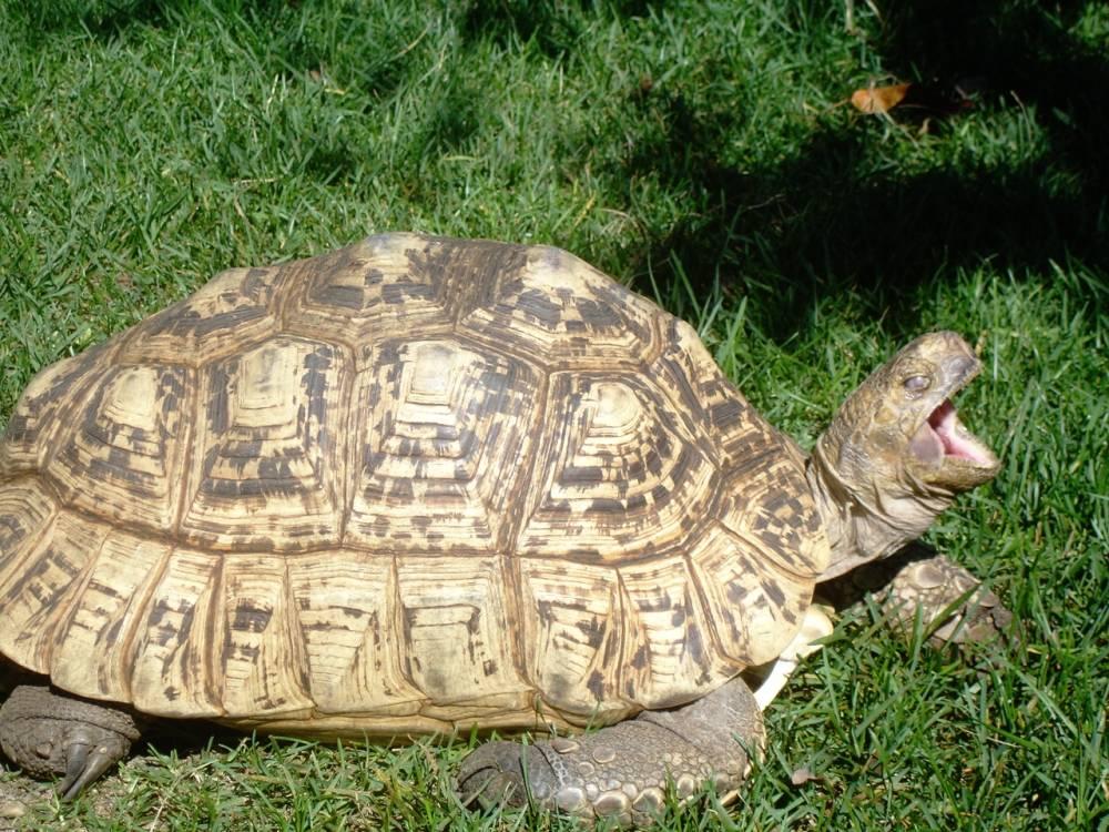 Clemmys guttata (пятнистая черепаха)