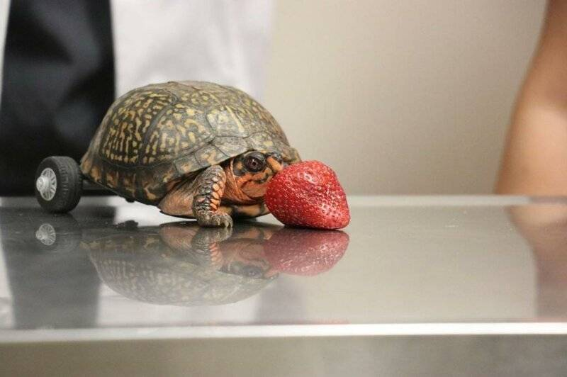 Как найти черепаху ' новости о животных '