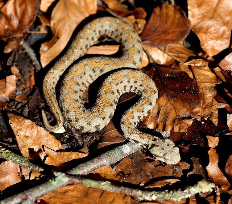 Змея Гюрза — яркий представитель красной книги