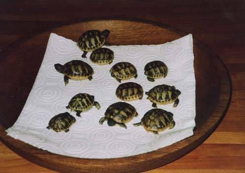 Размножение черепах: инкубация яиц