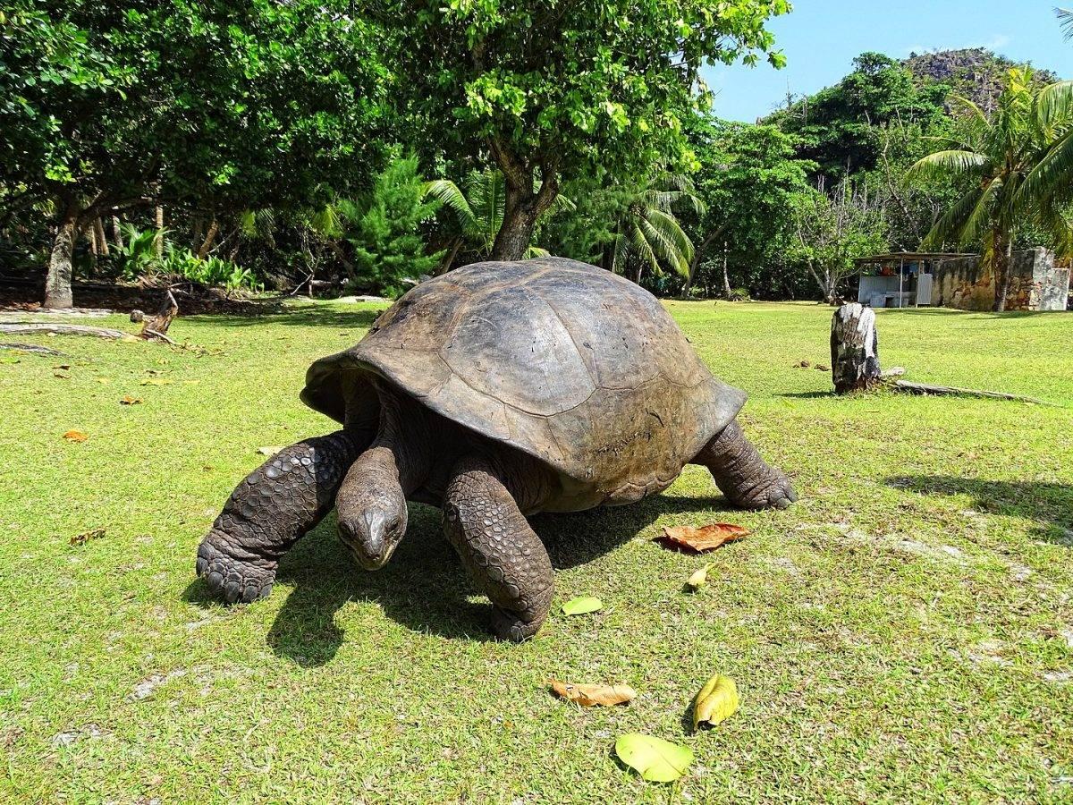Гигантская черепаха - giant tortoise - qwe.wiki