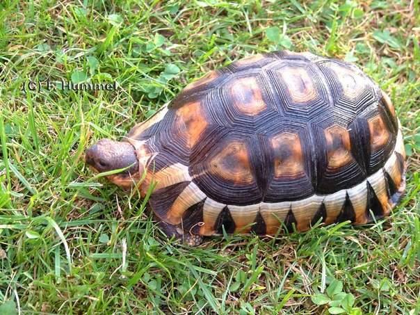 Черепаха - tortoise