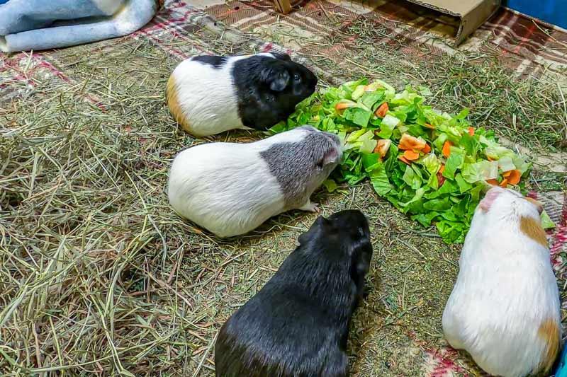 Гранат: можно ли давать морским свинкам