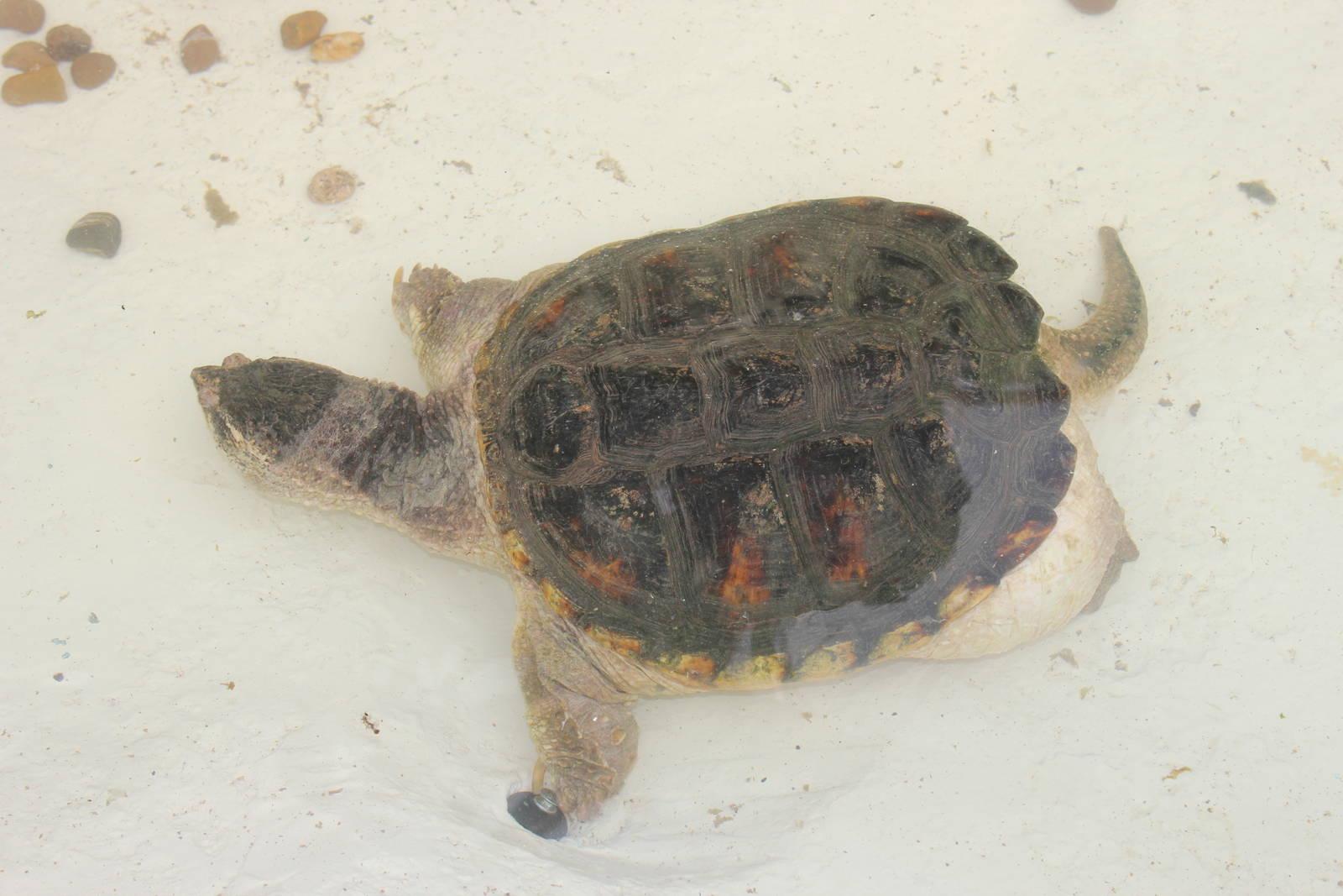 Размножение морских черепах