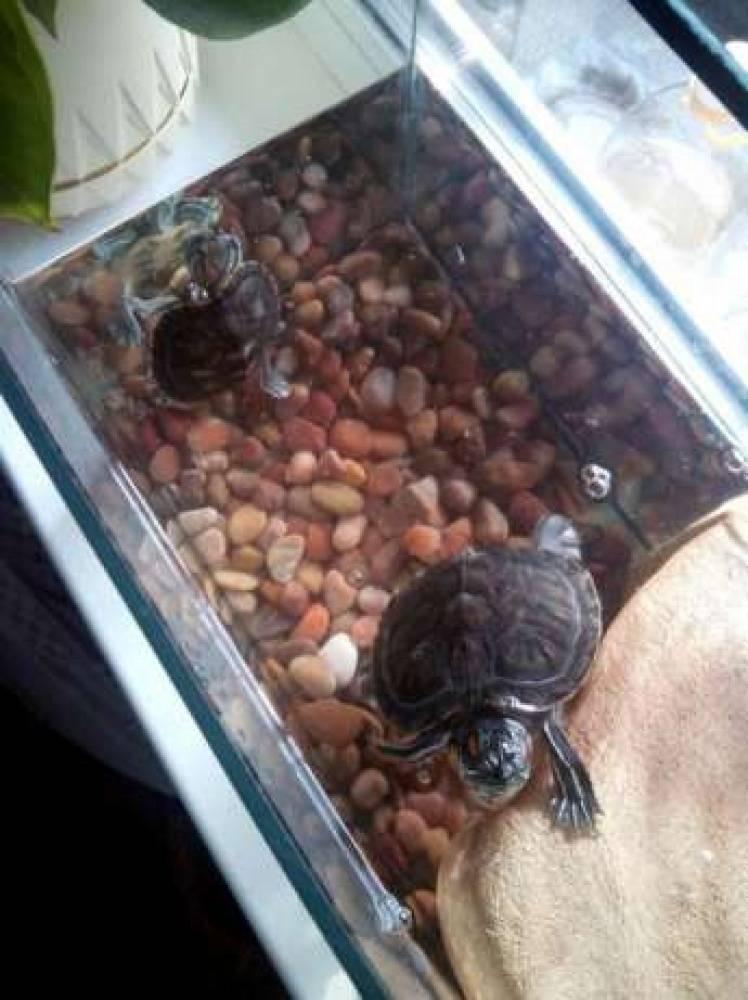 Как размножаются черепахи в домашних условиях