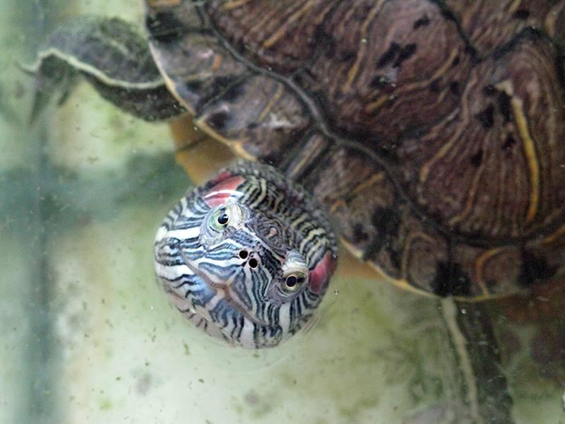 Грибок у красноухой черепахи лечение
