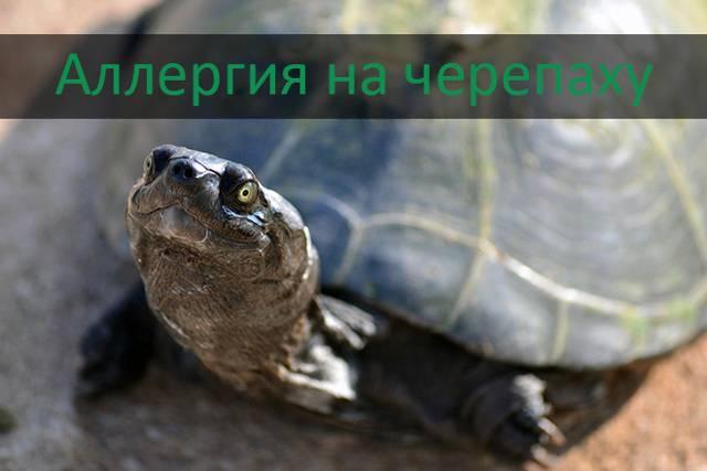 Аллергия на черепаху. симптомы и меры предосторожности1 min read