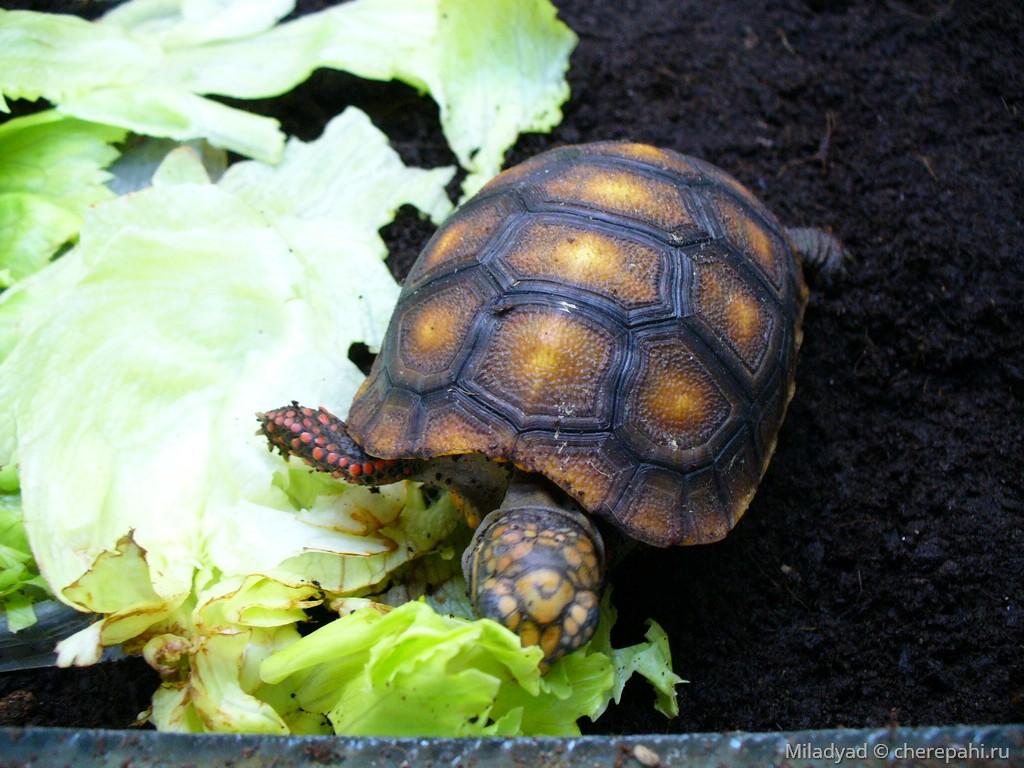 Угольная черепаха — википедия переиздание // wiki 2