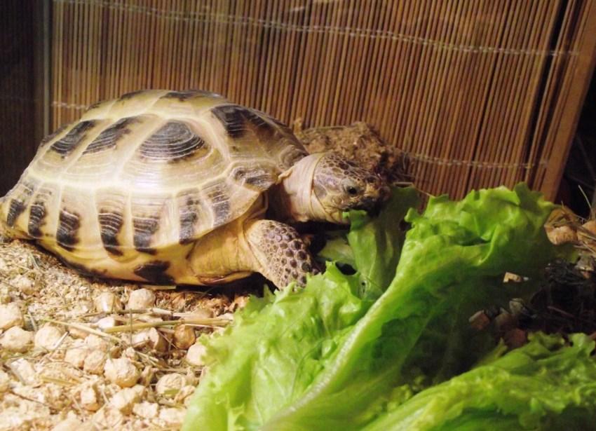 Среднеазиатская черепаха содержание в домашних условиях