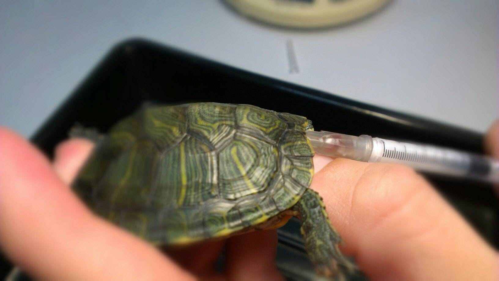Болезни черепах и их лечение