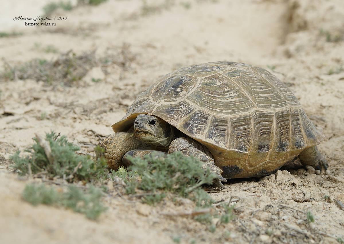 Черепаха среднеазиатская сухопутная – содержание и уход в домашних условиях