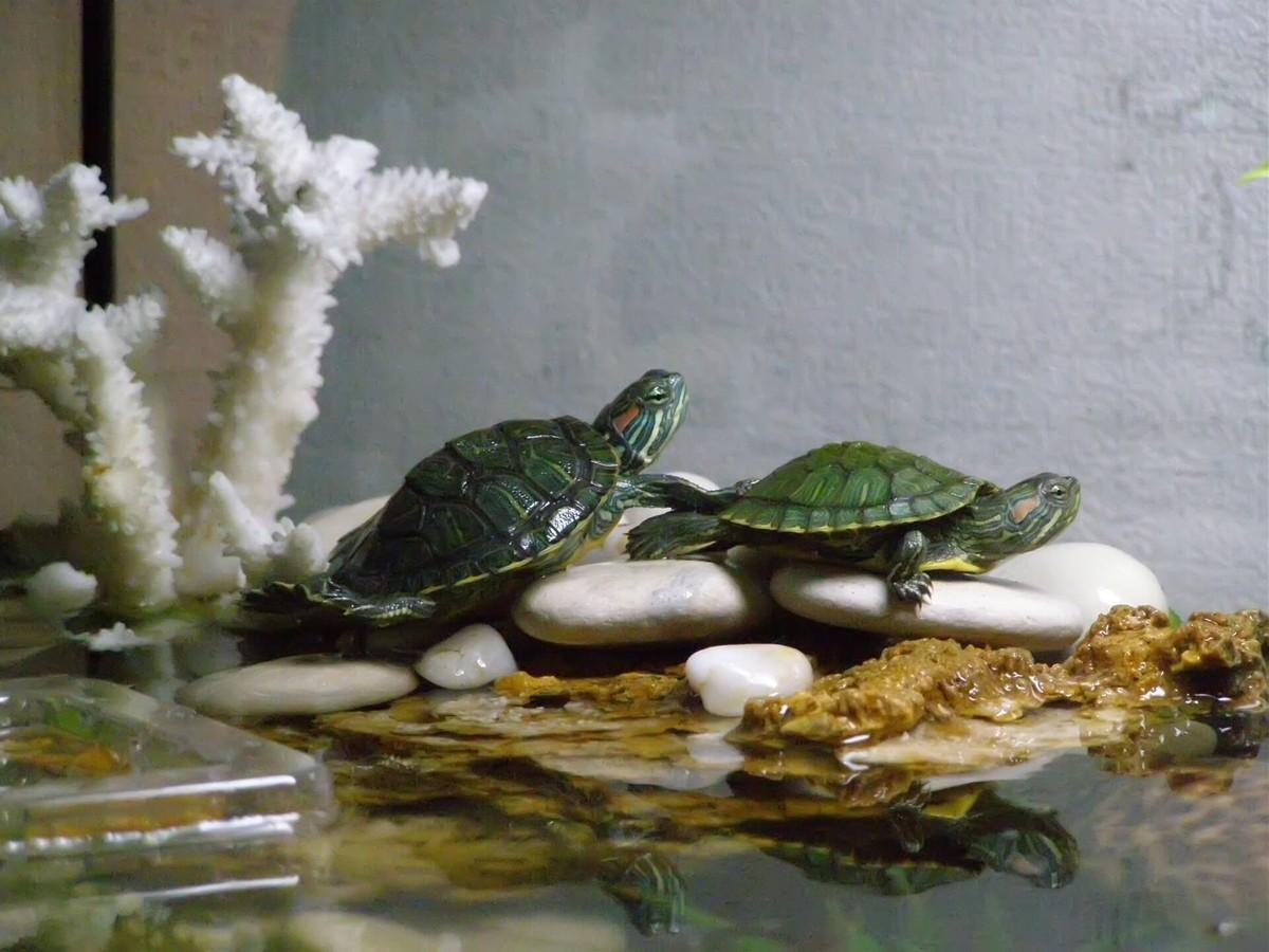 водяная черепаха в домашних условиях фото все-таки испугало, что