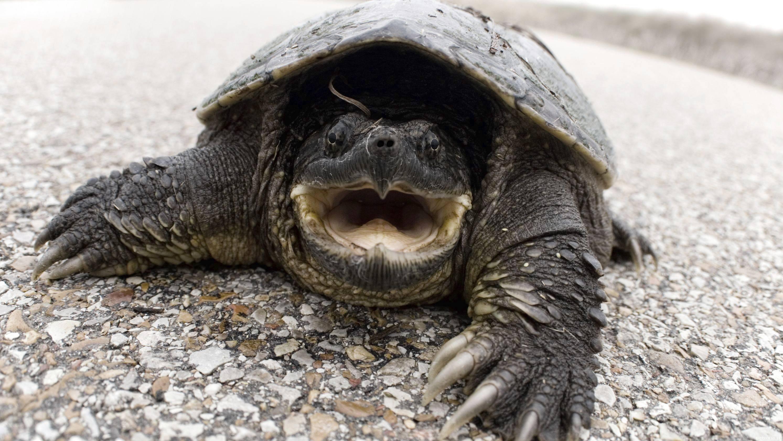 Огромный монстр дома — каймановая черепаха