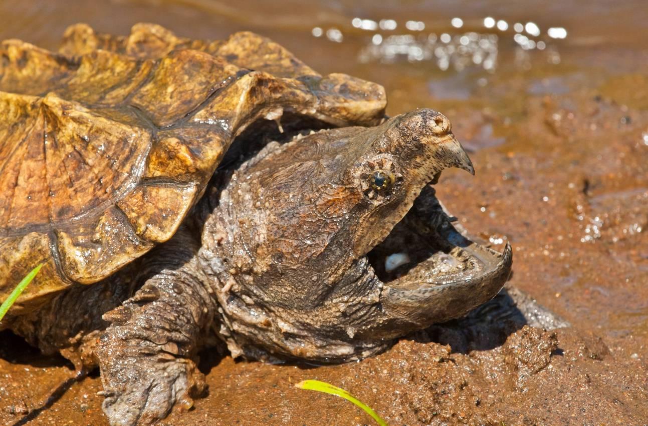 Лесная черепаха