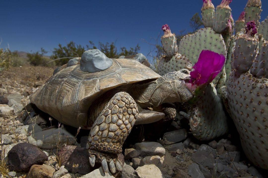 Как черепахи зимуют в природе. впадают ли в спячку красноухие черепахи как черепашки впадают в спячку