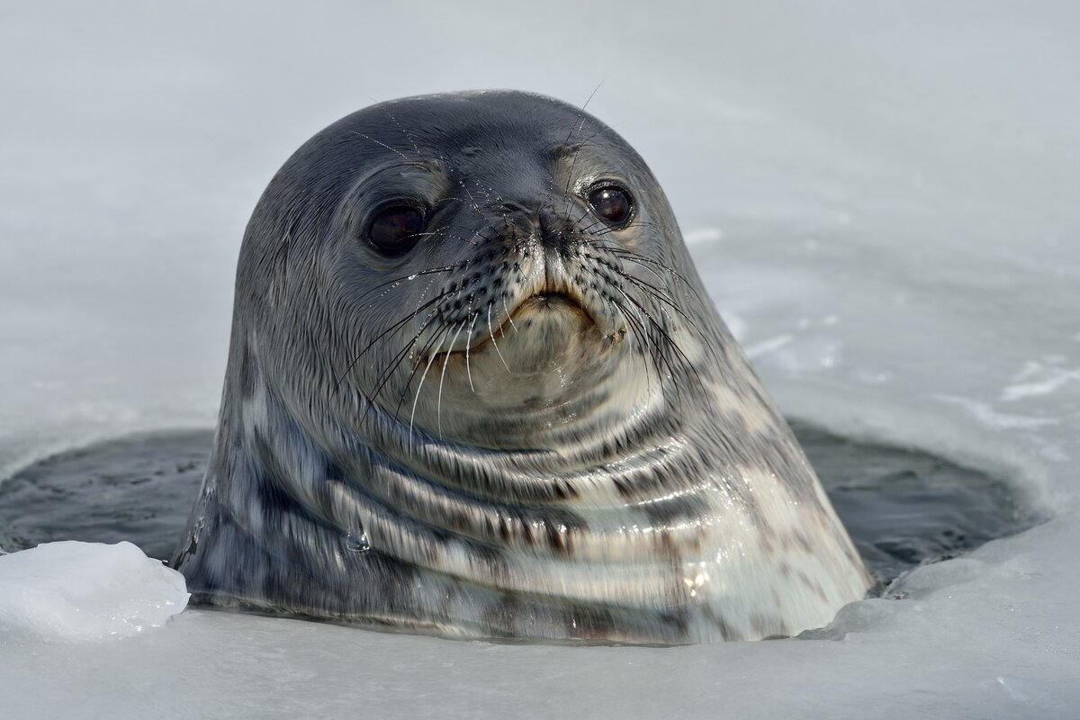 Тюлень Уэдделла: описание и образ жизни тюленя