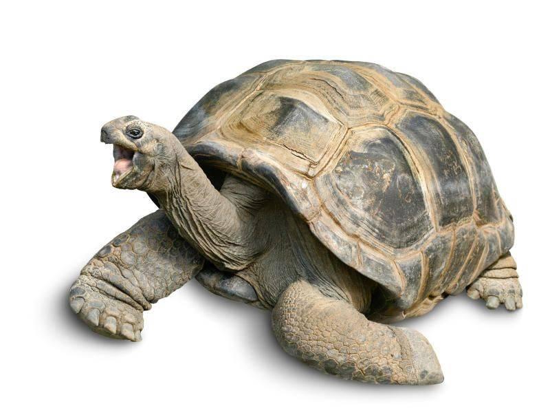 Слоновая черепаха, ее особенности и история: разбираемся обстоятельно