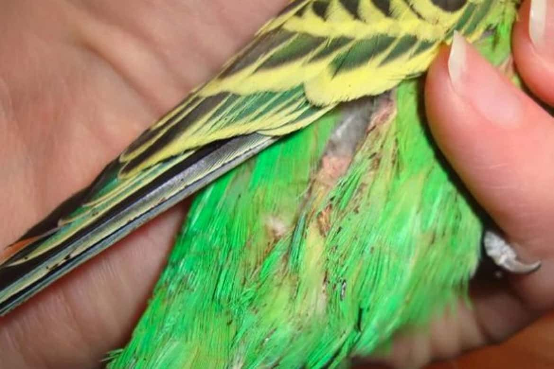 Симптомы клеща у волнистого попугая и лечение